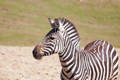Één zebra Royalty-vrije Stock Fotografie