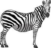 Één zebra stock afbeeldingen