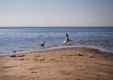 Één zeemeeuw is standind in het overzees en andere vliegt stock foto