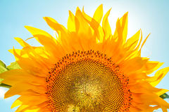 Één zonnebloem Stock Fotografie