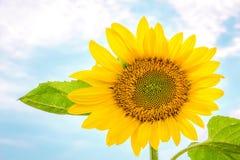 Één zonnebloem Stock Afbeeldingen