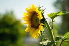 Één zonnebloem dichte omhooggaand, weg kijkend Stock Fotografie