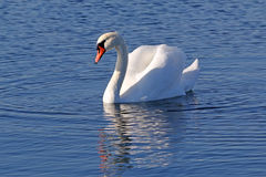 Één zwaan het zwemmen royalty-vrije stock afbeeldingen