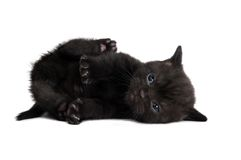 Één zwart Brits katje Stock Foto's