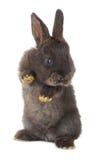 Één zwart konijn Stock Afbeeldingen