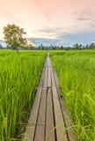 100 éénjarigen houten brug tussen padieveld met zonlicht bij N Stock Foto's