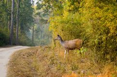 Éénkleurige Sambarherten of Rusa bevlekt in Kanha Nationaal Park stock foto's
