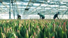 郁金香在温室,背景的工作者里增长 股票录像