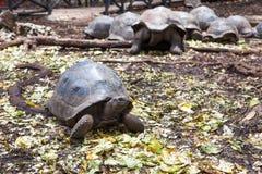 阿尔达布拉环礁巨型草龟Aldabrachelys gigantea 库存图片