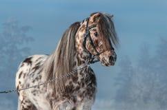 阿帕卢萨马微型马画象在冬时的 库存照片