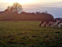 里士满公园在日落的鹿瞄准在里士满公园,伦敦 库存照片