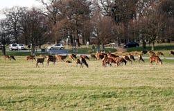 里士满公园鹿瞄准 库存图片