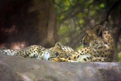 野生动物猎豹 免版税图库摄影