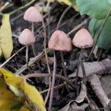 野生蘑菇植物在印度尼西亚采取与宏观被射击的拷贝空间软性 免版税库存图片