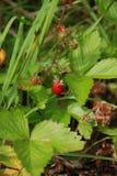 野草莓在黑森林 库存图片