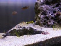 金属Snakeskin色彩艳丽的胎生小鱼鱼 免版税库存照片