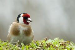 金翅雀- Carduelis carduelis,寻找食物、全身羽毛和颜色 免版税库存照片