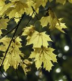 金黄枫叶在明亮的秋天阳光下 免版税库存图片