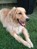 金黄草位于的猎犬 免版税库存图片