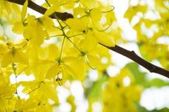 金黄阵雨TreeCassia瘘是秀丽黄色花在夏天 免版税库存图片
