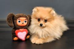 长发红色Pomeranian波美丝毛狗小狗 免版税库存图片