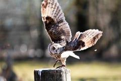 长耳朵猫头鹰,澳大利亚安全情报组织otus在德国自然公园 免版税库存图片