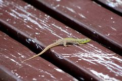 镇静地站立在被毁坏的木公开长凳和享受温暖的好日子的地中海绿蜥蜴 免版税库存图片