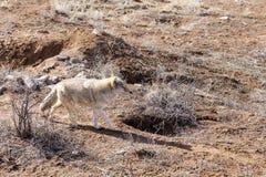 镇静地走在干燥领域的黑貂上漆的土狼在一好日子期间 库存图片