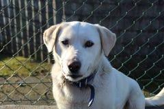 逗人喜爱的白色拉布拉多狗微笑 免版税库存照片