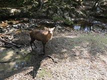 逗人喜爱的鹿在奈良公园,日本 免版税库存照片