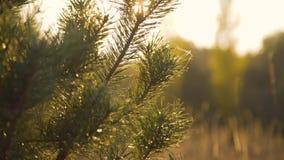 针的分支接近的看法在狂放的干草原的'背景 影视素材