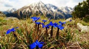 É alguma flor tão azul quanto esta genciana? imagens de stock