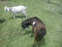 É duas cabras imagens de stock royalty free