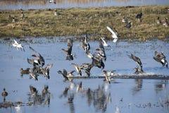 É inverno nos Países Baixos, é februari quando todo o tipo de pássaros diferentes e os patos visitam este erea Imagens de Stock Royalty Free
