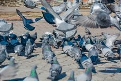 É muitos pombos Imagem de Stock