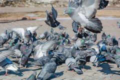 É muitos pombos Fotos de Stock