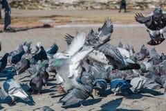 É muitos pombos Foto de Stock Royalty Free