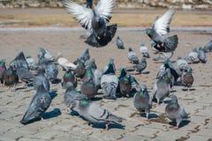 É muitos pombos Fotografia de Stock Royalty Free