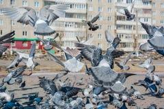 É muitos pombos Foto de Stock