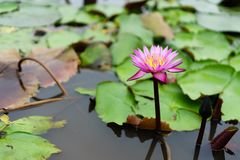 É rosa bonito Lotus da flor em Lotus Floating Maket Ba vermelha imagem de stock