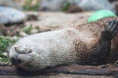 É sexta-feira ainda???? Eu lontra esteja na cama Fotografia de Stock