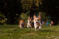 Ébat de corgi de race de chien sur l'herbe Images stock