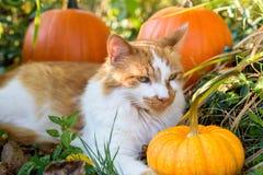 Ébréchez le chat tigré avec des potirons Photographie stock libre de droits