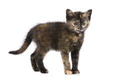 écaille de 2 mois de chaton Images libres de droits
