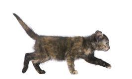 écaille de 2 mois de chaton Image libre de droits