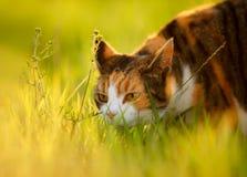 Écaille et blanc Cat With Ears Back Photographie stock