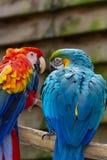 Écarlate d'ara et perroquets bleu-et-jaunes, oiseaux exotiques colorés long-coupés la queue photo libre de droits