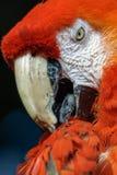 écarlate de macaw du Macao d'ara Photos stock