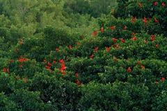 Écarlate IBIS, ruber d'Eudocimus, oiseau rouge exotique, habitat de nature, colonie d'oiseau s'asseyant sur l'arbre, marais de Ca images stock