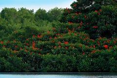 Écarlate IBIS, ruber d'Eudocimus, oiseau rouge exotique, habitat de nature, colonie d'oiseau s'asseyant sur l'arbre, marais de Ca photos libres de droits